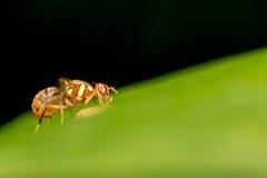 Nettare dell'ape sulle foglie Immagini Stock Libere da Diritti