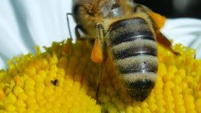 Nettare della riunione dell'ape del miele e polline di diffusione sul fiore della camomilla video d archivio