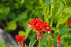 Nettare di alimentazione apicola sul pettine in giardino immagini stock