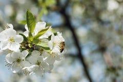 Nettare di Gorkij dell'ape, primo piano, macro Fotografia Stock Libera da Diritti