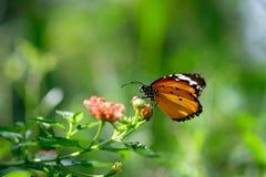 Nettare di ricerca della farfalla di monarca su un fiore dell'universo fotografia stock