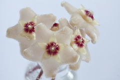 Nettare sui fiori di Hoya Fotografia Stock Libera da Diritti