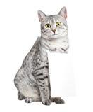 Nette ägyptische Mau Katze Stockbild