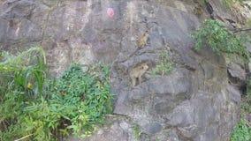 Nette Affen, die auf dem Felsen in Ella, Sri Lanka klettern stock video
