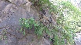 Nette Affen, die auf dem Felsen in Ella, Sri Lanka klettern stock video footage