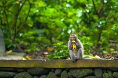 Nette Affen lebt im Ubud-Affe-Wald, Bali, Indonesien Lizenzfreies Stockfoto