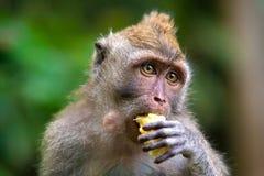 Nette Affen lebt im Ubud-Affe-Wald, Bali, Indonesien Stockfoto