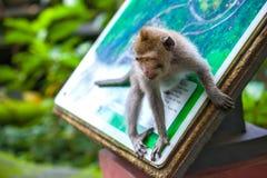 Nette Affen lebt im Ubud-Affe-Wald, Bali, Indonesien Stockfotografie