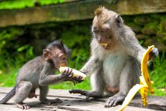 Nette Affen lebt im Ubud-Affe-Wald, Bali, Indonesien Lizenzfreie Stockbilder