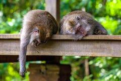 Nette Affen lebt im Ubud-Affe-Wald, Bali, Indonesien Lizenzfreie Stockfotos
