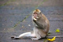 Nette Affen lebt im Ubud-Affe-Wald, Bali, Indonesien Stockbilder