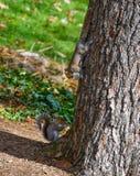 Nette amerikanische Eichhörnchen im Herbst Eichel essend Stockbilder