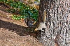 Nette amerikanische Eichhörnchen im Herbst Eichel essend Stockfotos