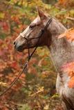 Nette Appaloosastute im Herbstwald Stockbilder