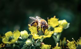 Nette Arbeitskraftbiene, die Nahrung sammelt lizenzfreie stockbilder