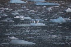 Nette arktische Vögel, die auf einem kleinen Eisberg stillstehen svalbard Lizenzfreies Stockfoto