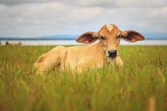 Nette Babykuh, die im Gras schläft Lizenzfreie Stockfotos