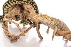 Nette beste Freunde der Eidechse und der Schlange auf einem weißen Hintergrund Lizenzfreie Stockfotos