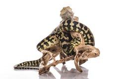 Nette beste Freunde der Eidechse und der Schlange auf einem weißen Hintergrund Lizenzfreies Stockbild
