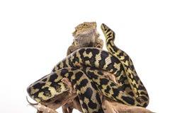 Nette beste Freunde der Eidechse und der Schlange auf einem weißen Hintergrund Stockfotos