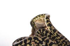 Nette beste Freunde der Eidechse und der Schlange auf einem weißen Hintergrund Stockfoto