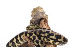 Nette beste Freunde der Eidechse und der Schlange auf einem weißen Hintergrund Stockbild