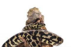 Nette beste Freunde der Eidechse und der Schlange auf einem weißen Hintergrund Stockbilder
