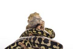 Nette beste Freunde der Eidechse und der Schlange auf einem weißen Hintergrund Lizenzfreie Stockfotografie