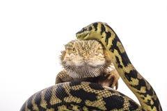 Nette beste Freunde der Eidechse und der Schlange auf einem weißen Hintergrund Lizenzfreie Stockbilder