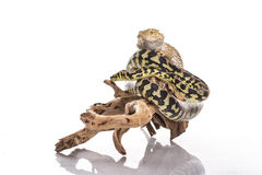 Nette beste Freunde der Eidechse und der Schlange auf einem weißen Hintergrund Lizenzfreies Stockfoto