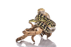Nette beste Freunde der Eidechse und der Schlange auf einem weißen Hintergrund Stockfotografie