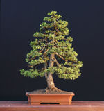 Nette bonsai Stock Afbeeldingen