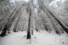Nette Boom mistig Forest Covered door Sneeuw in de Winterlandschap Stock Foto