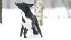 Nette border collie-Hundestellung stock video footage