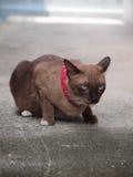 Nette braune Katze legen nieder und anstarrend zu etwas Stockbild