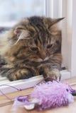 Nette braune persische Katze, die ein Katzenspielzeug spielt Lizenzfreie Stockfotos