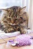 Nette braune persische Katze, die ein Katzenspielzeug spielt Stockfoto