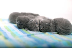 Nette Britisch Kurzhaar-Kätzchen Lizenzfreie Stockfotografie