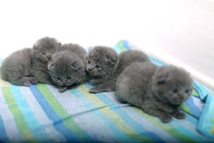 Nette Britisch Kurzhaar-Kätzchen Stockbild
