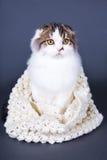 Nette britische Katze im woolen Schal, der über Grau sitzt Stockbilder