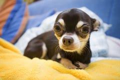 Nette Chihuahua Stockbild