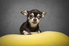 Nette Chihuahua Lizenzfreies Stockfoto