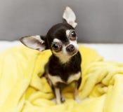 Nette Chihuahua Stockfotos
