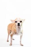 Nette Chihuahua auf weißem Hintergrund Lizenzfreie Stockfotos