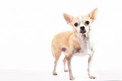 Nette Chihuahua auf weißem Hintergrund Lizenzfreie Stockbilder