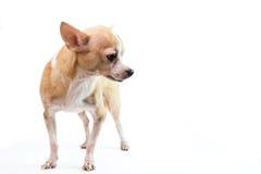 Nette Chihuahua auf weißem Hintergrund Stockfotografie