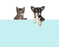 Nette Chihuahuahunde- und -getigerter Katzebabykatze, die über einer Grenze des blauen Papiers hängt Stockfoto