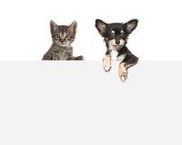 Nette Chihuahuahunde- und -getigerter Katzebabykatze, die nebeneinander über einem grauen Karton hängt Stockfotos