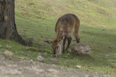 Nette Damhirschkuh essen in der Natur Lizenzfreies Stockfoto