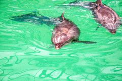 Nette Delphine im Poolwasser im dolphinarium lizenzfreies stockfoto